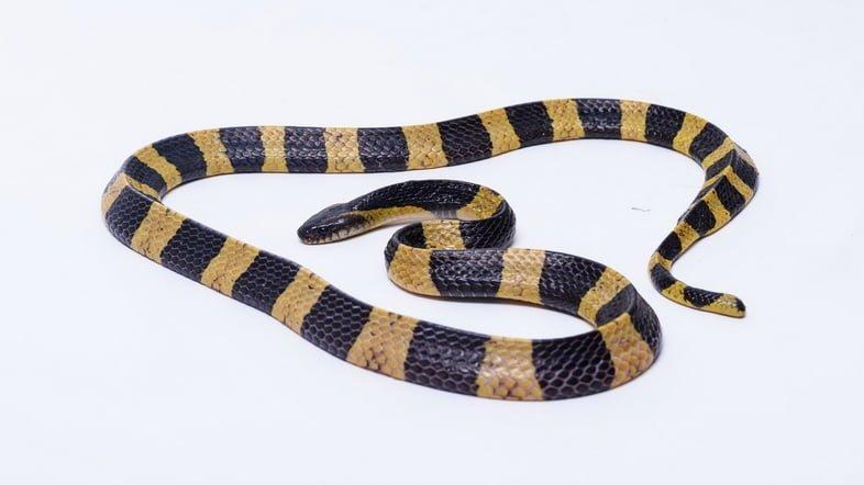 Ленточный крайт (Bungarus fasciatus)