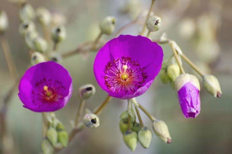 Каландриния великолепная (Calandrinia spectabilis)