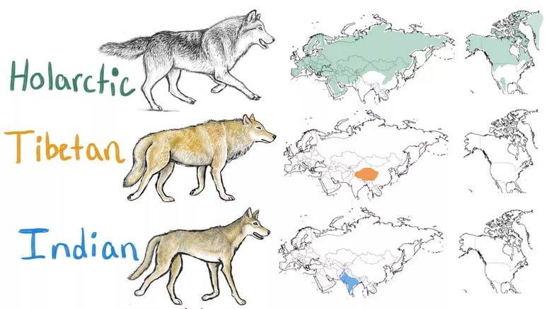 Распространение серых волков