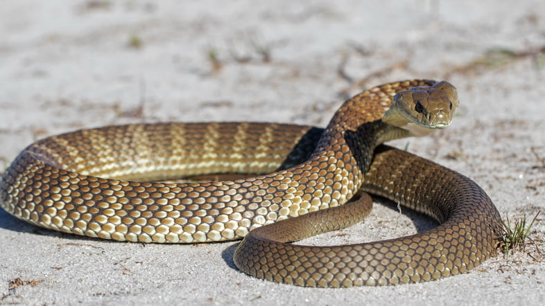 Тигровая змея (Notechis scutatus)