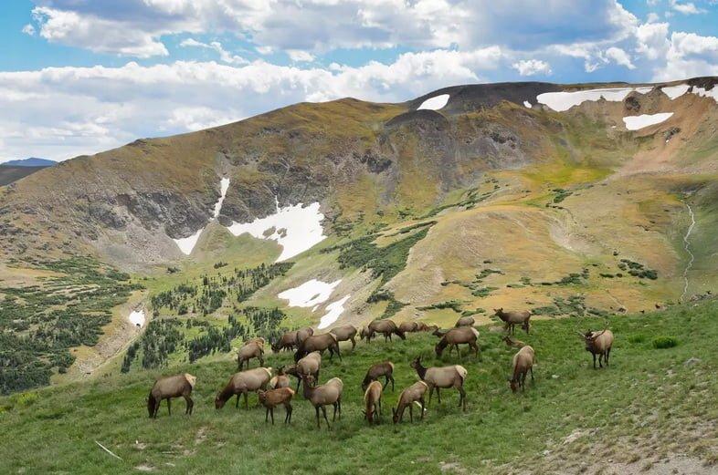 Лось, пасущийся на траве в национальном парке Роки-Маунтин