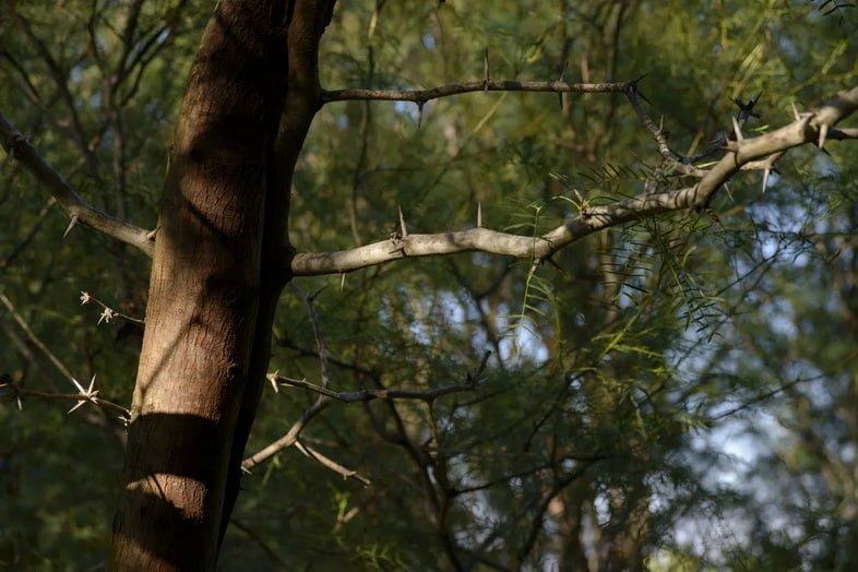 Прозопис чилийский (Prosopis chilensis)