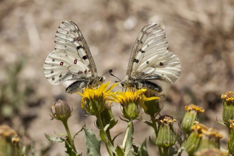 Бабочки Phoebus parnassia в национальном парке Колорадо