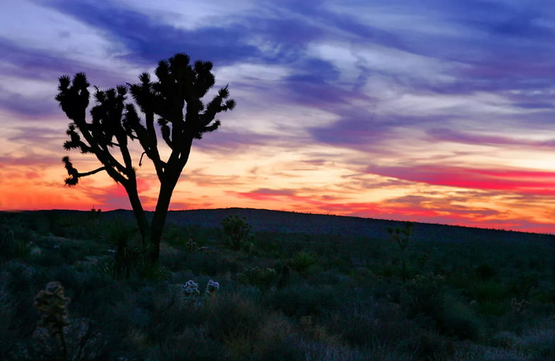 Юкка коротколистная (Yucca brevifolia)
