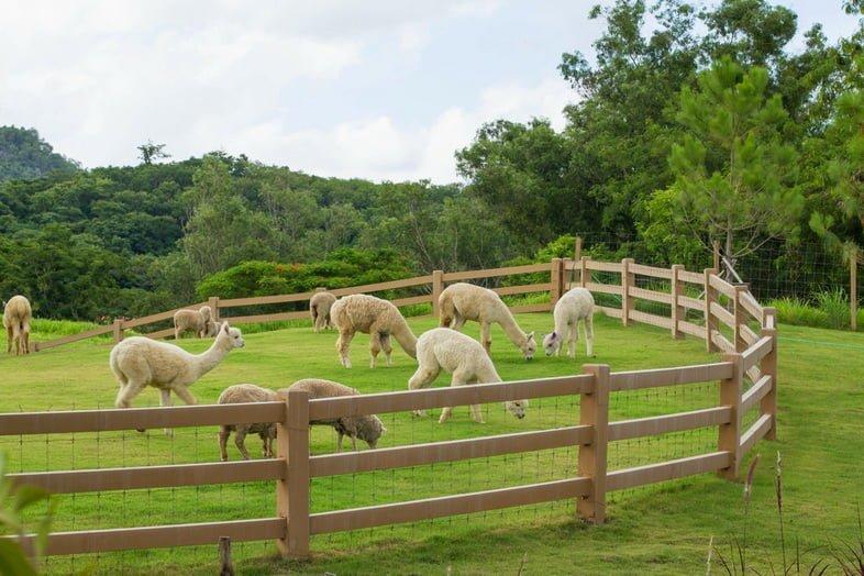 Альпаки пасутся на ферме в Таиланде
