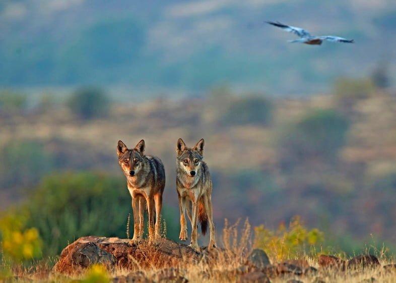 Азиатские волки