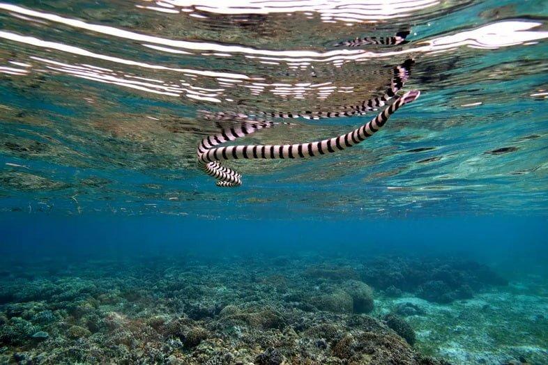Полосатая морская змея