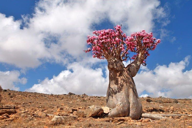 Адениум тучный – эндемик острова Сокотра