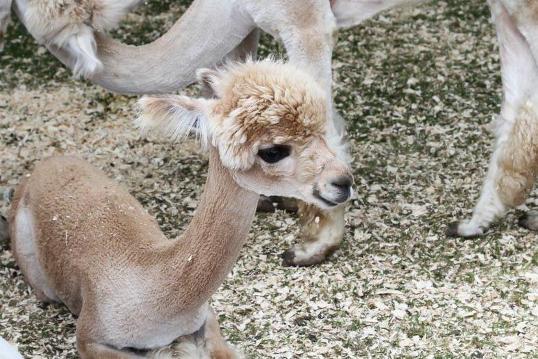 Детеныш альпаки