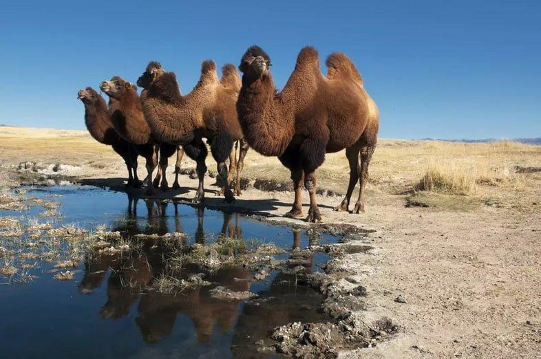 Группа двугорбых верблюдов, стоящих возле небольшого водоема в пустыне