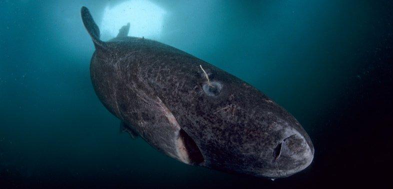 Гренландская полярная акула