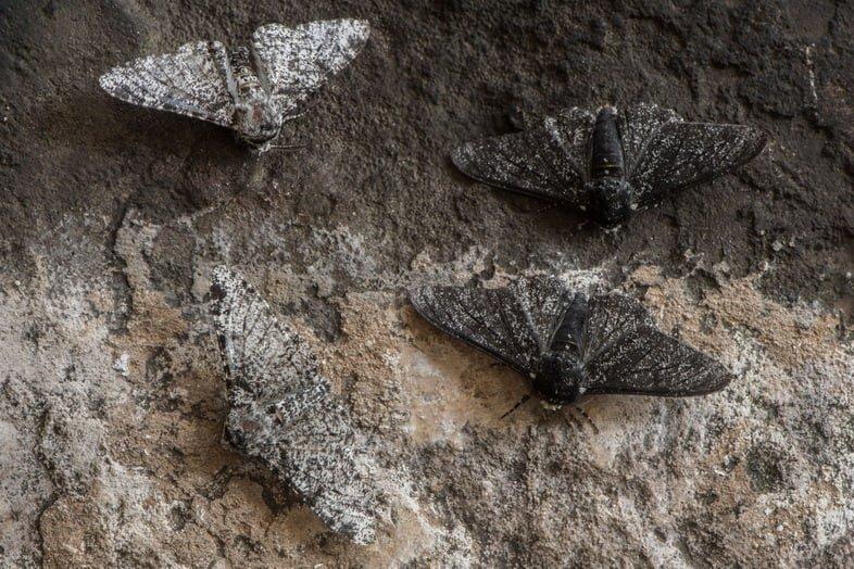 Светлые и темные мотыльки у каменной стены