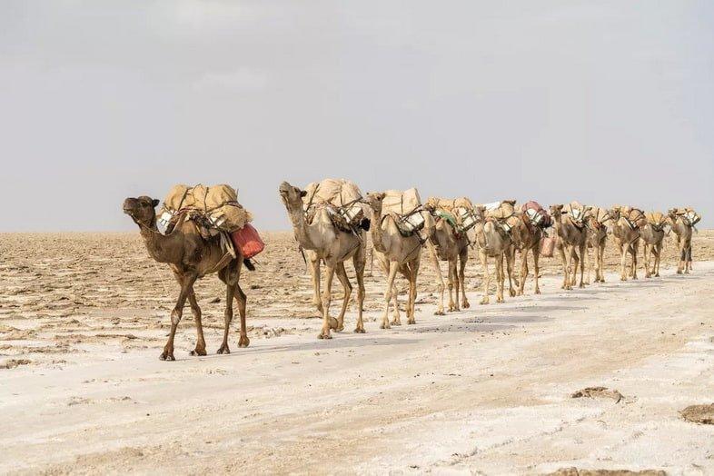 Караван верблюдов, несущих материалы на спине через пустыню