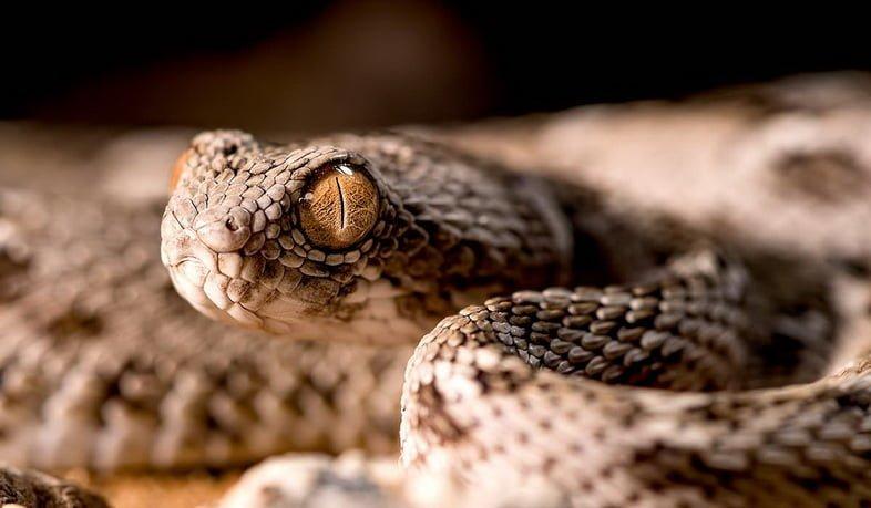 Крупный план эфы, одной из самых смертоносных змей в мире