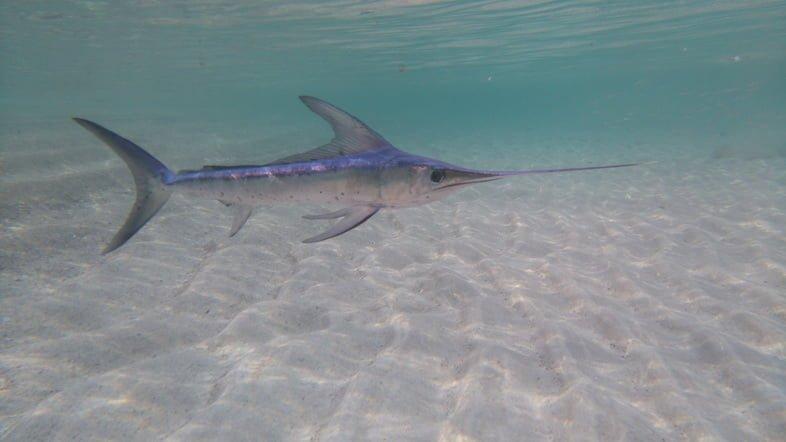 Фотография меч-рыбы, плавающей над песком на мелководье