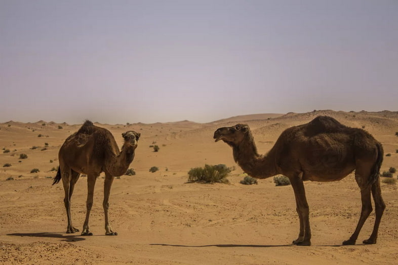 Пара одногорбых верблюдов в пустыне
