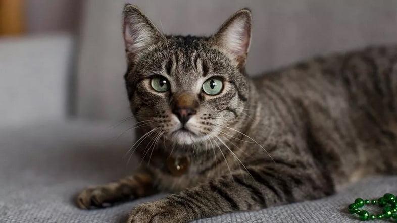 Полосатый серый кот