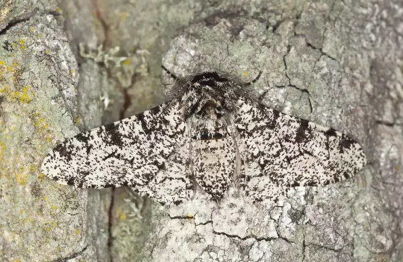 Берёзовая пяденица (Biston betularia)