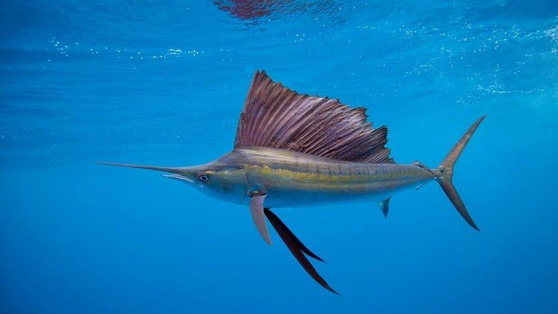Фотография парусника, плавающего под водой у острова Исла-Мухерес в Карибском море