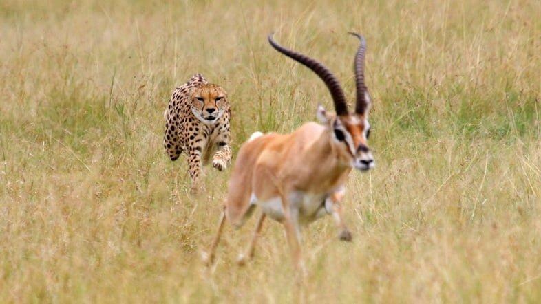 Фотография гепарда, преследующего импалу
