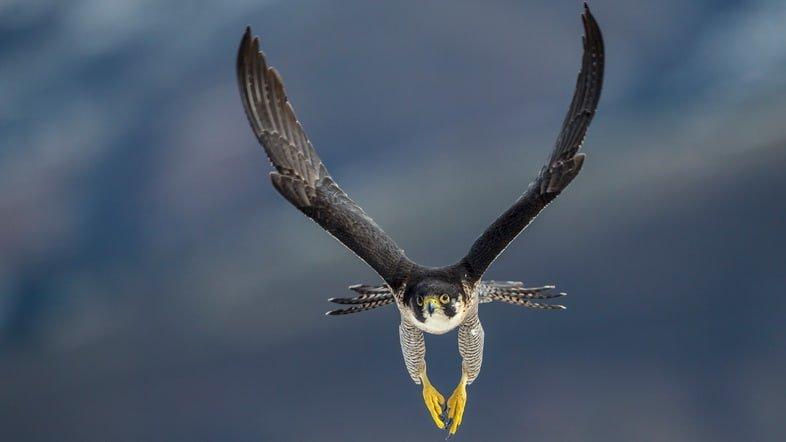 Сапсан на кантабрийском побережье Испании охотится за добычей