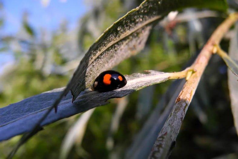 Черная божья коровка с двумя пятнами на ивовом листе