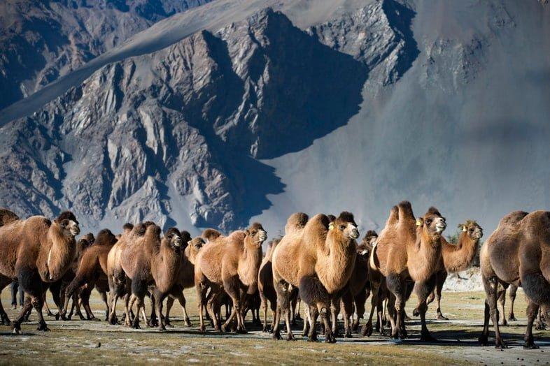 Стадо двугорбых верблюдов, идущих мимо горы